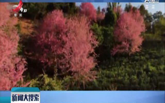冬日粉色浪漫 云南勐海县樱花盛放