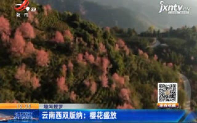 【趣闻搜罗】云南西双版纳:樱花盛放