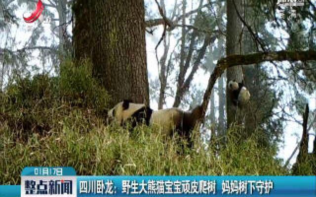 四川卧龙:野生大熊猫宝宝顽皮爬树 妈妈树下守护