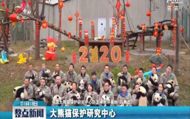 最萌新春祝福!20只大熊猫宝宝集体拜年
