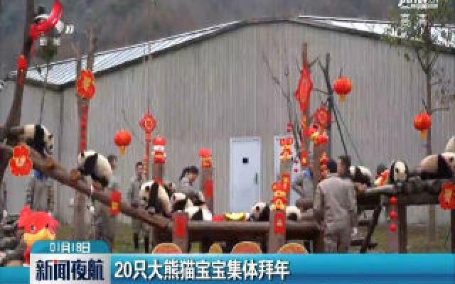 20只大熊猫宝宝集体拜年