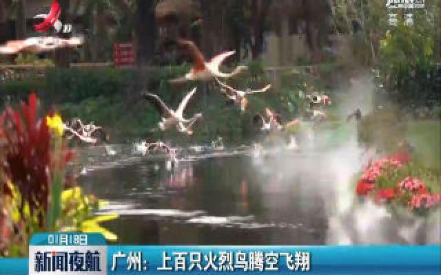 广州:上百只火烈鸟腾空飞翔