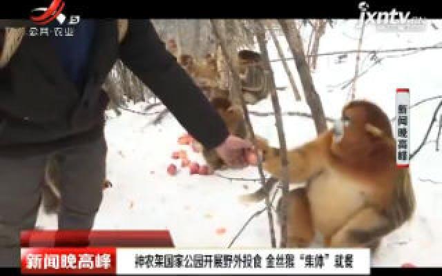 """神农架国家公园开展野外投食 金丝猴""""集体""""就餐"""