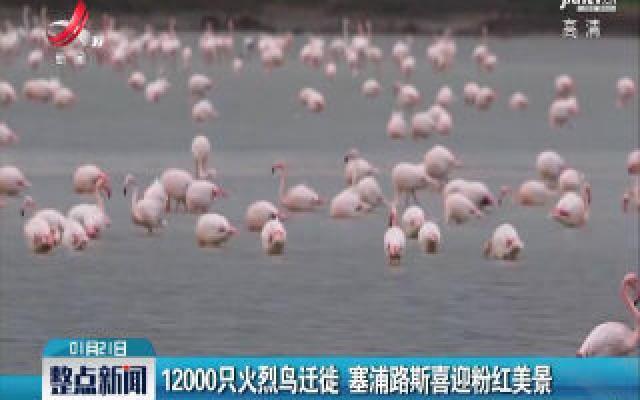 12000只火烈鸟迁徙 塞浦路斯喜迎粉红美景