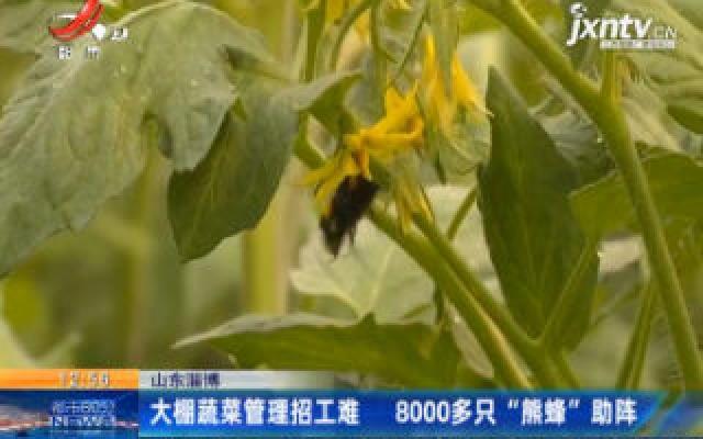"""山东淄博:大棚蔬菜管理招工难 8000多只""""熊蜂""""助阵"""