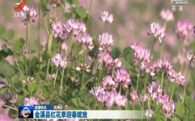 金溪县红花草迎春绽放