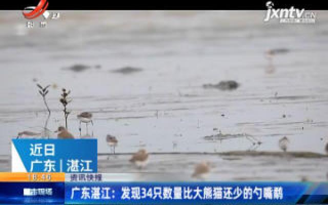 广东湛江:发现34只数量比大熊猫还少的勺嘴鹬