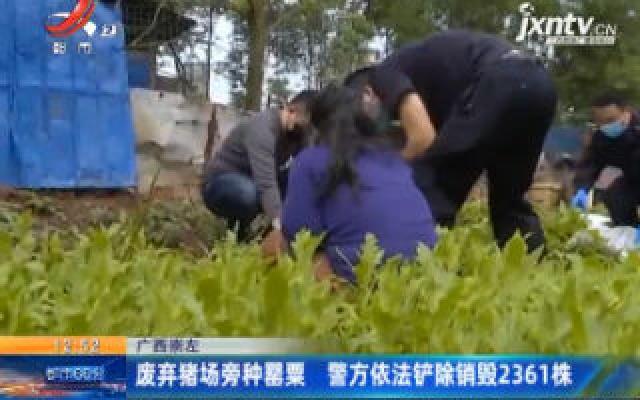 广西崇左:废弃猪场旁种罂粟 警方依法铲除销毁2361株