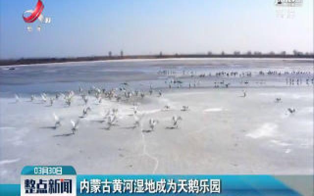 内蒙古黄河湿地成为天鹅乐园