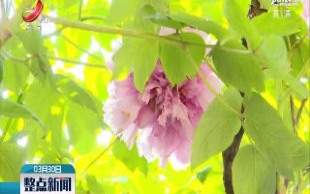 上饶:牡丹花开动人 花龄600多年