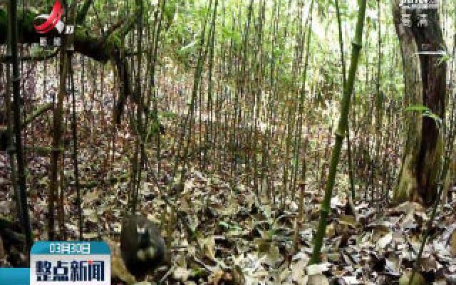 云南首次拍到全球濒危物种四川山鹧鸪