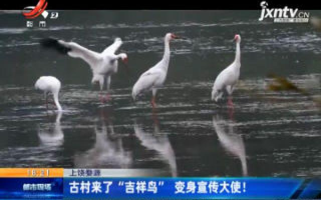 """上饶婺源:古村来了""""吉祥鸟"""" 变身宣传大使!"""