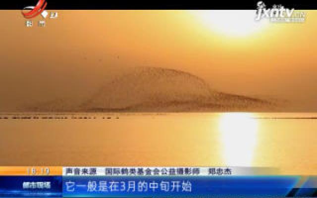 江西鄱阳湖:冬去春来 最后一批白鹤集体北迁