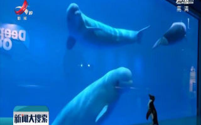美国水族馆企鹅与白鲸上演罕见会面