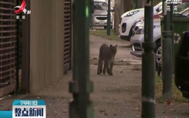 智利宵禁圣地亚哥街头再现美洲狮