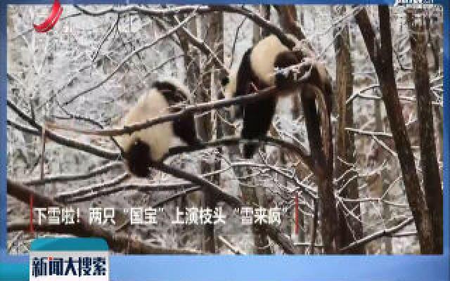 【搜趣闻】陕西汉中:两只熊猫 枝头上玩雪
