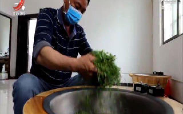 金溪野生茶进入采摘旺季