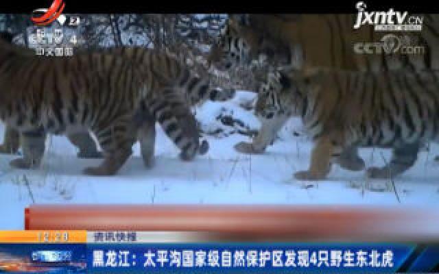 黑龙江:太平沟国家级自然保护区发现4只野生东北虎