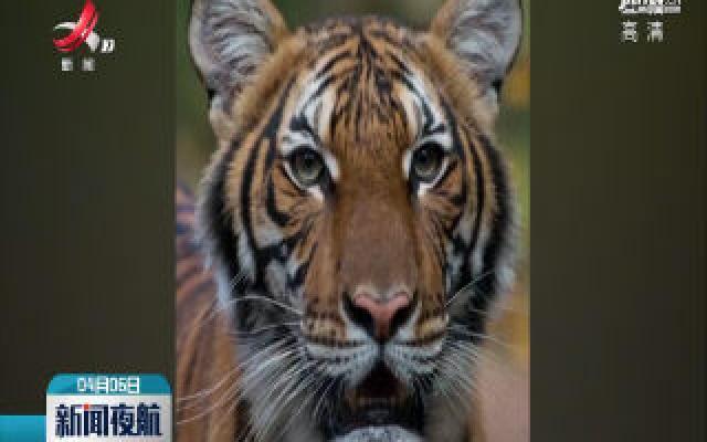 美国一只老虎新冠病毒检测呈阳性