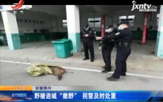 """安徽滁州:野猪进城""""撒野""""民警及时处置"""