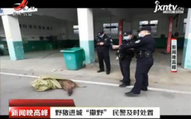 """安徽:野猪进城""""撒野"""" 民警及时处置"""