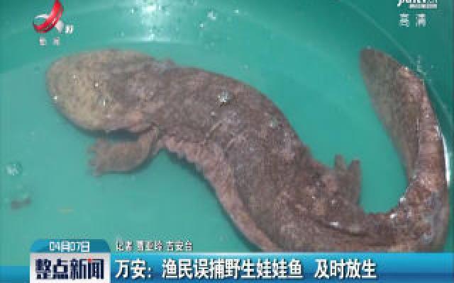 万安:渔民误捕野生娃娃鱼 及时放生