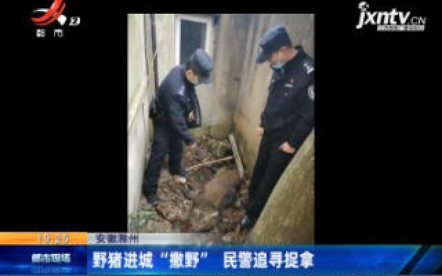 """安徽滁州:野猪进城 """"撒野"""" 民警追寻捉拿"""