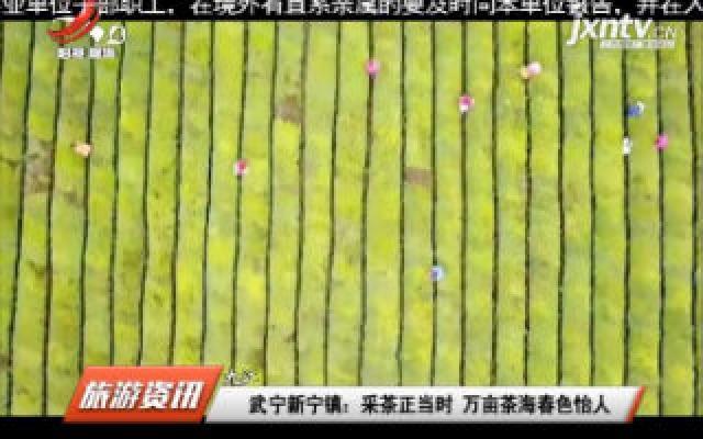 武宁新宁镇:采茶正当时 万亩茶海春色怡人