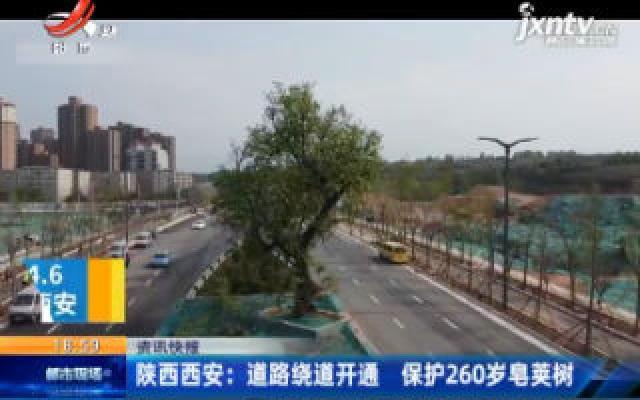 陕西西安:道路绕道开通 保护260岁皂荚树