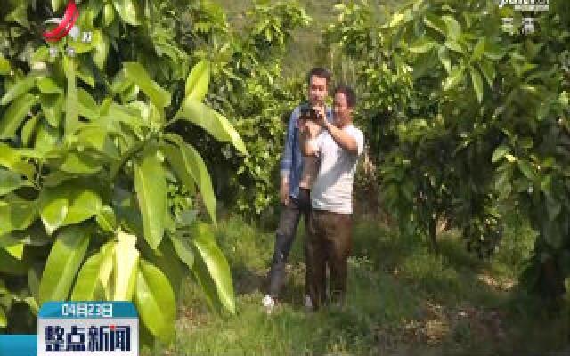 遂川:千亩蜜柚花盛开 美了生态富了民