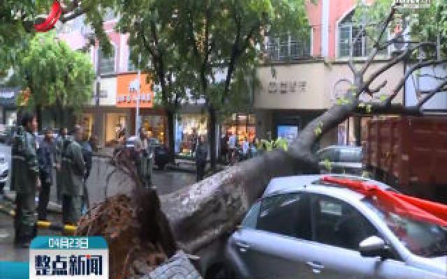 南康:大雨过后行道树连根拔起