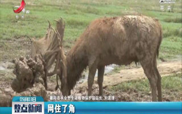 上饶:麋鹿受困草洲 遇上了他们......