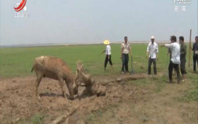 鄱阳:野生麋鹿受困草洲及时获救