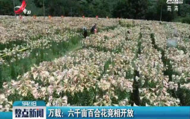 万载:六千亩百合花竞相开放
