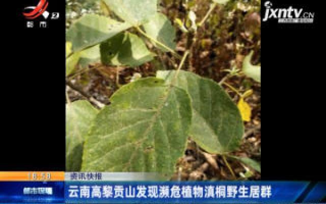 云南高黎贡山发现濒危植物滇桐野生居群