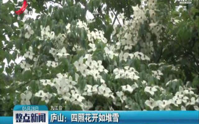 庐山:四照花开如堆雪