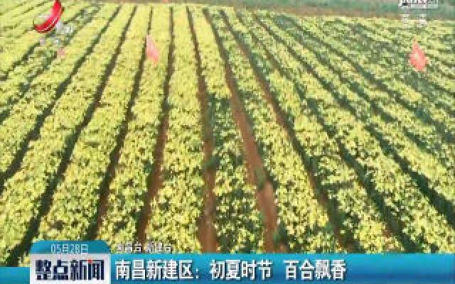 南昌新建区:初夏时节 百合飘香