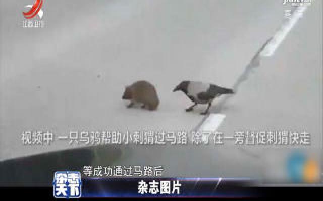 一只乌鸦帮助小刺猬过马路 在一旁督促刺猬快走