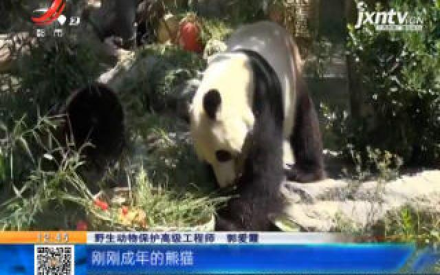 """山东济南:花篮蛋糕和长寿面 大熊猫雅吉6岁生日超""""嗨皮"""""""