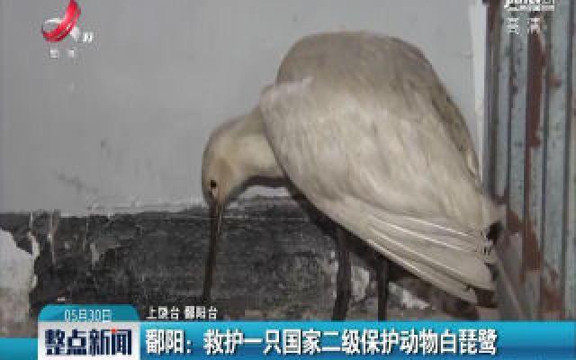 鄱阳:救护一只国家二级保护动物白琵鹭