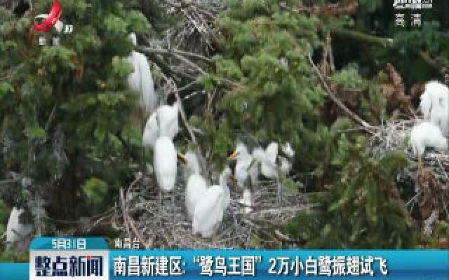 """南昌新建区:""""鹭鸟王国""""2万小白鹭振翅试飞"""