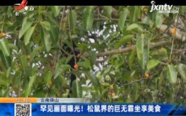 云南保山:罕见画面曝光!松鼠界的巨无霸坐享美食