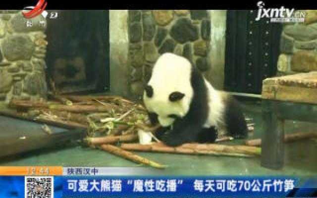 """陕西汉中:可爱大熊猫""""魔性吃播"""" 每天可吃70公斤竹笋"""