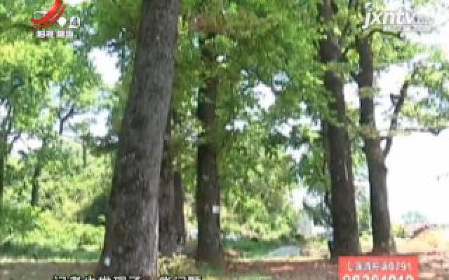 百年古树面临危机 珍稀树种该如何挽救?(一)