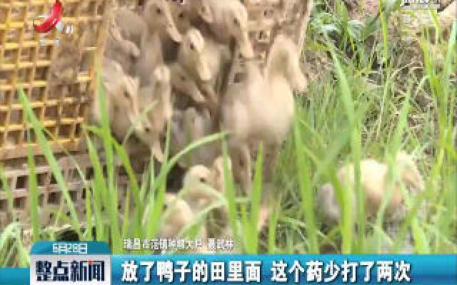 九江:推行稻鸭共作模式 水稻少用农药化肥