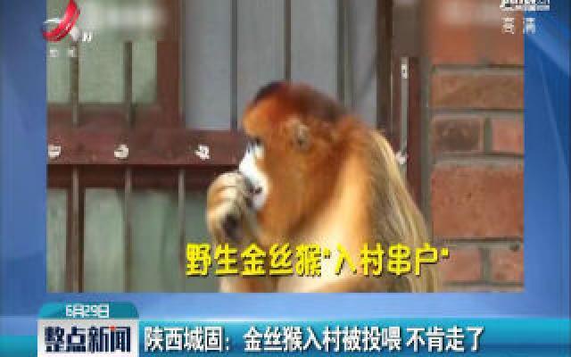 陕西城固:金丝猴入村被投喂 不肯走了