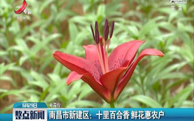 南昌市新建区:十里百合香 鲜花惠农户