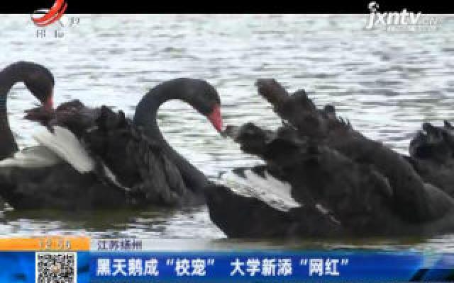 """江苏扬州:黑天鹅成""""校宠"""" 大学新添""""网红"""""""