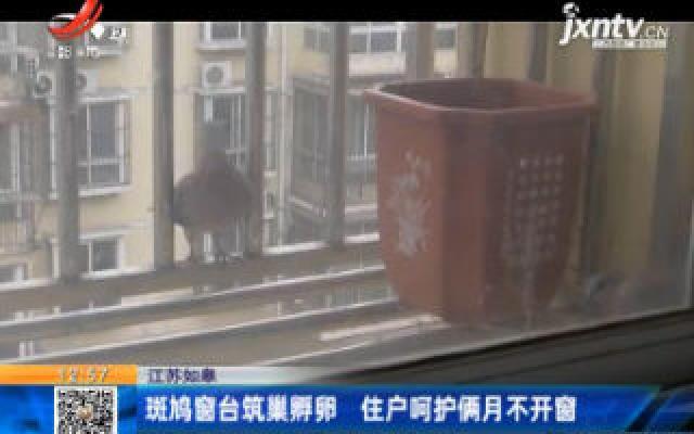 江苏如皋:斑鸠窗台筑巢孵卵 住户呵护俩月不开窗
