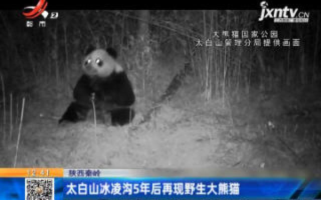 陕西秦岭:太白山冰凌沟5年后再现野生大熊猫